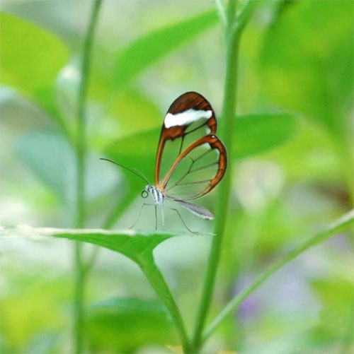 glasswing02.jpg