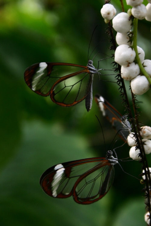 glasswing03.jpg