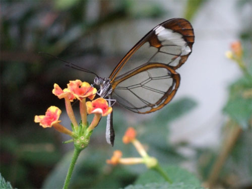 glasswing05.jpg